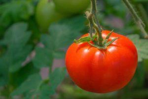 Описание декоративного томата Толстушка и уход за растением