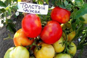 Характеристика томата Толстый Джек и описание плодов