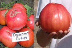 Характеристика томата Тяжеловес Сибири, урожайность и борьба с вредителями