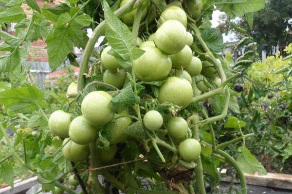 Зеленые помидоры