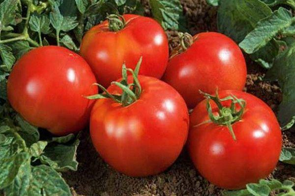 помидоры Владимир