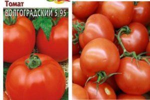 Характеристика томата Волгоградский 5/95 и агротехнические правила выращивания
