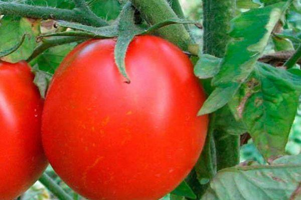 Плод томата