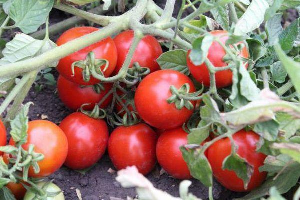 Куст с томатами