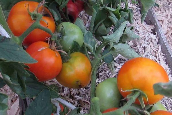 Веткаи с томатами