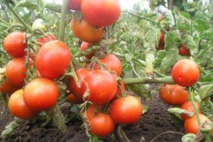 Обзор лучших сортов семян томатов для Ростовской области открытого грунта