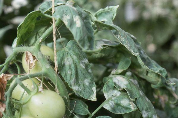 Болезнь у помидора