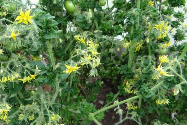 Цветение помидора