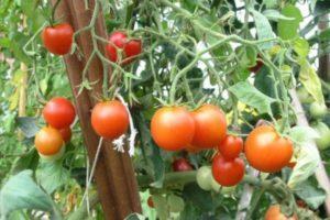Как сажать и выращивать помидоры при этом не поливая их