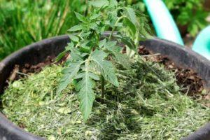 Технология выращивания помидоров в ведрах в открытом грунте и теплице