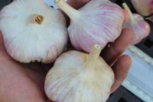 Описание чеснока сорта Алькор и особенности выращивания овоща