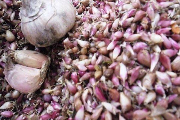 чеснок семена