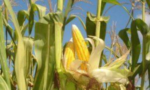 Правила размножения и культивирования кукурузы в огороде