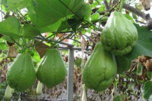 Описание Мексиканского огурца, технология выращивания и урожайность