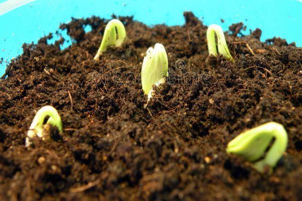 Ростки из семян