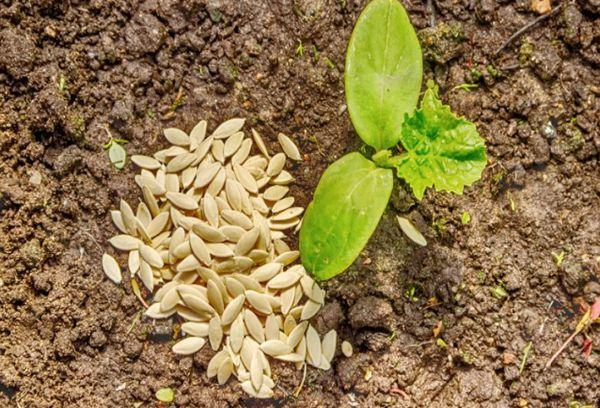 Росток и семена
