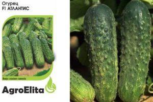 Характеристика огурцов Атлантис f1 и выращивание гибрида