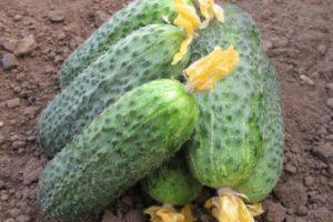 Описание голландского гибридного огурца Беттина, выращивание и уход