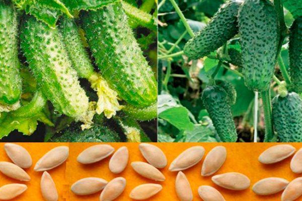 Семена и огурцы