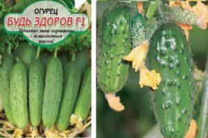 Характеристика сорта огурцов Будь здоров и способы выращивания корнишонов