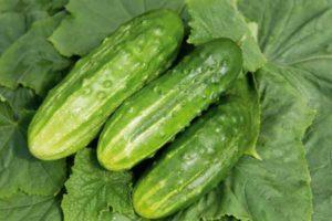 Описание гибридного огурца Обильный, выращивание и уход