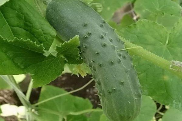 Плод огурца