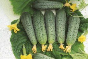 Характеристика огурцов Атос, культивирование и уход за саженцами