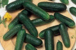 Описание огурцов Ацтек и способы выращивания гибрида