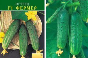 Описание огурцов Фермер f1 и правила выращивания рассады