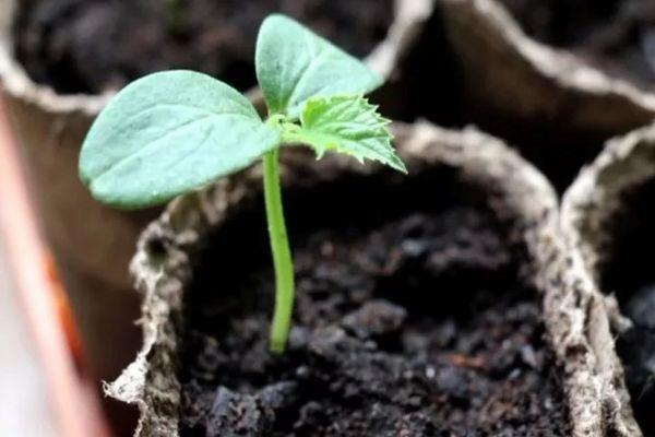 Огурец из семян
