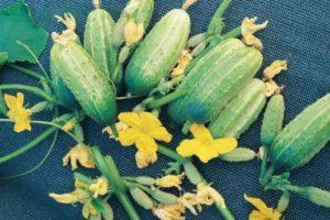 Описание огурцов сорта Верные друзья и выращивание гибрида