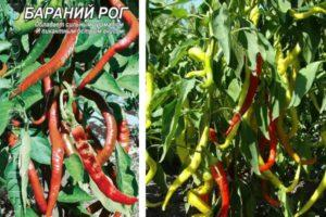 Описание жгучего перца Бараний рог, выращивание и уход