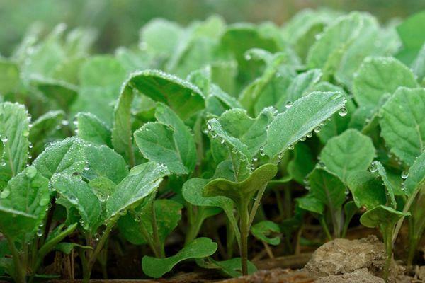 ростки капусты