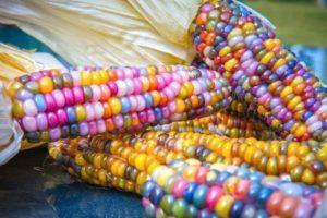 Описание Разноцветной кукурузы, выращивание и уход за растением