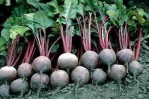 Описание свеклы сорта Пабло, выращивание и уход