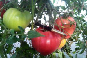 Описание сорта томата Абаканский розовый, особенности выращивания и ухода