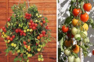Описание томата Ампельный смесь и особенности выращивания сорта