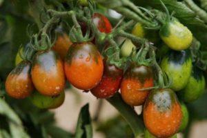 Описание сорта томата Черный мавр, особенности выращивания и ухода