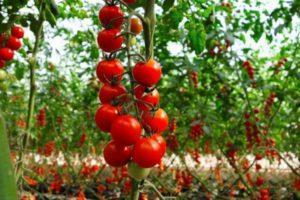 Описание сорта томата черри Вишня красная, выращивание и урожайность