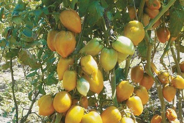 Перцевидные томаты