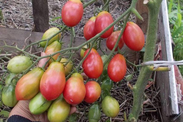 Гибридный помидор