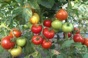 Описание сорта томата Дачник, его характеристика и выращивание