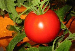 Описание сорта томата Демидов, его характеристика и урожайность