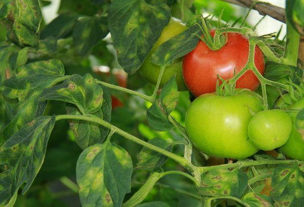 Больные томаты