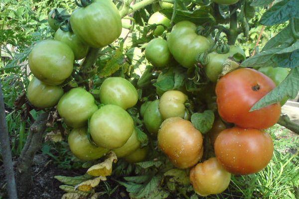 Выращивание томата