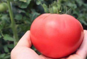 Описание сорта томата Кукла, рекомендации по выращиванию и уходу