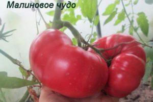 Описание сорта томата Малиновое чудо, его характеристика и выращивание