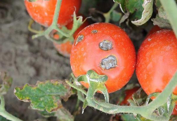 Гниль на томате