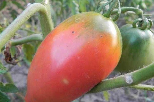 Длинноплодный помидор