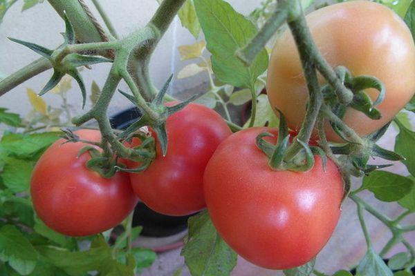 Ветки с томатами